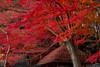 IMG_3686 (Matthew_Li) Tags: red leaf japan maple leaves