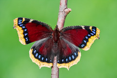 Nymphalis antiopa (Charaxes14) Tags: lepidoptera insect kelebek insecta arthropoda arthropod lighting shadow green macro animal butterfly white beautiful wonderful amazing fresh black beauty nature bokeh fantastic sunny autumn nymphalis antiopa nymphalidae nymphalid blue yellow red mourning cloak camberwell
