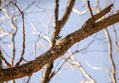 Hairy Woodpecker (Neil DeMaster) Tags: conservation conservenature keeppubliclandpublic keepourairclean keeppubliclandspublic nature njnature nj outdoor outdoorphotography naturephotography protectourenvironment preservedland wilderness bird conservewildlife njwildlife njbird protectwildlife wildlife wildlifephotography banpesticides woodpecker hairywoodpecker