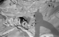 Scan-180212-0001 (Oleg Green (lost)) Tags: husky dog wolve self shadow snow winter 35mm fomapan bw film bessat sskopar 4025 withoutfineder rodinal