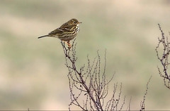 Meadow Pipit (robin denton) Tags: anthuspratensis rspbstaidens yorkshire rspbreserve rspb bird nature wildlife oiseaux pipit meadowpipit staidans