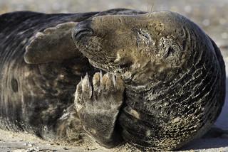 Grey Seal bull (Halichoerus grypus) 03