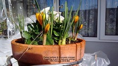 Pansy (yellow) & Crocuses (orange) flowering in pot on balcony railings 15th February 2018 004 (D@viD_2.011) Tags: pansy yellow crocuses orange flowering pot balcony railings 15th february 2018