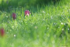 Un matin, après la pluie (jpto_55) Tags: fleur fritillairepintade xe1 fuji fujifilm fujixf55200mmf3548rlmois hautegaronne france
