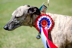 170514 Blunham Dog Show-0336 (whitbywoof) Tags: rescue pet dog lurcher winner kitsch collar best show