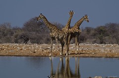IMGP8221 Three headed giraffe (Claudio e Lucia Images around the world) Tags: giraffa giraffe etosha waterhole water drink reflecting pentax pentaxk30 pentax60250