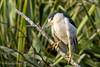 Black-crowned Night-Heron (Bob Gunderson) Tags: birds blackcrownednightheron california northerncalifornia nycticoraxnycticorax palaceoffinearts sanfrancisco wadingbirds