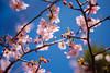 IMGL0704 (GARNETSKY2006) Tags: 180304sakura 5d3 sakura cherryblossom 50mmf12