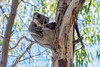 Koala mother and puppy (Matz88) Tags: verde australia baby hug huggin kangaroo island koala leaf leaves mother pet puppy three