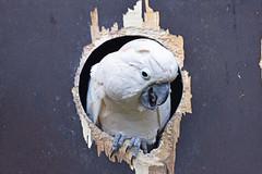 molučki kakadu (Cacatua moluccensis / Salmon-crested Cockatoo / Molukkenkakadu) (Hrvoje Šašek) Tags: molučkikakadu salmoncrestedcockatoo molukkenkakadu cacatuamoluccensis ptica bird papgaj parrot zagreb zoološkivrtgradazagreba zoologicalgardenofzagreb zoološkivrt zoologicalgarden životinja animal priroda nature park maksimir perivoj hrvatska croatia zagrebzoo zoo portret portrait croazia kroatien closeup d810