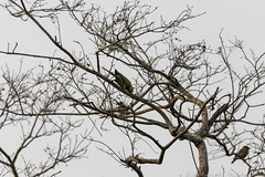 20180303-0I7A4215 (siddharthx) Tags: narsapurforestnarsapurtelanganahyderabadroadtripbirds bonthapalle telangana india in narsapurforestnarsapurtelanganahyderabadroadtripbirdswildlifewildscrubforestwaterbodywadingbirds rufoustreepie treepie roseringedparakeet parakeet longtailedshrike shrike yellowthroatedsparrow chestnutshoulderedpetronia sparrow petronia