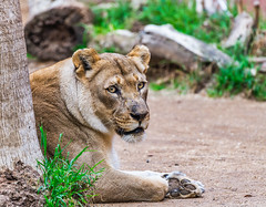 La Reina (FotoMemi) Tags: nikond850 d850 losangeles fauna nikkor200500mmf56vr flickr digital california unitedstates us lion africanlion panthera telephoto
