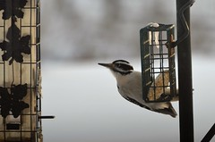 Female Hairy Woodpecker (danalcreek) Tags: hairy woodpecker bird nature blackandwhite black white