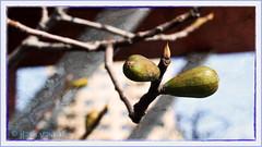 Sign of Spring (myphotomailbox) Tags: nature rotterdam netherlands outdoor wilhelminakade macro nik collection colorefexpro nikcollection natuur knoppen photoborder