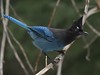 A believer in the 1st Amendment! (ebeckes) Tags: stellersjay corvid jay