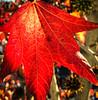 hapa (nikuman) Tags: sunnyvale california unitedstates autumn fallcolors maple trees leaves fall colors