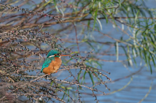 Kingfisher (Female) 17-01-2017-0879