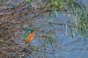 Kingfisher (Female) 17-01-2017-0879 (seandarcy2) Tags: kingfisher waterways river hemel hempstead herts uk birds wildlife handheld