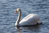 lake katherine. january 2018 (timp37) Tags: illinois january 2018 bird swan lake katherine palos
