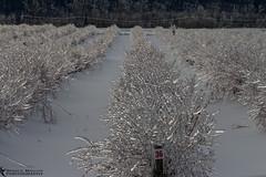 Frozen Blueberry Bushes (azcangal) Tags: ice icestorm frozen