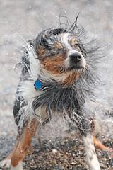 Solid Shake (peterkelly) Tags: digital canon 6d wheatley ontario canada northamerica lakeerie beach shoreline water dog shaking shake fur dogtag greatlakes