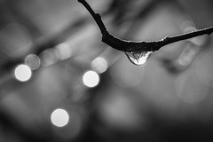 Untitled (tim.perdue) Tags: macro monochrome black white bw drop droplet water sunlight reflection refraction tree branch twig bokeh focus closeup dof depth field backyard nature detail dew morning minimalism