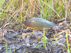 Another great bird! We are always thrilled to see a Green Heron (Butorides virescens) even if the light doesn't make for the best shot. (barbara robeson) Tags: butorides virescens green heron barbararobeson tildenpark berkeley california eastbayregionalpark