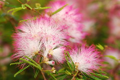 caliandra (powder puff) (DOLCEVITALUX) Tags: caliandra powderpuffflowers flower flowers philippines
