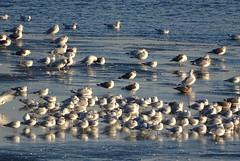gulls DSC00572 (clausholzapfel) Tags: gull herring ringbilled lesser blackbacked
