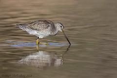 Long-billed Dowitcher (Matt Shellenberg) Tags: longbilled dowitcher longbilleddowitcher riparian preserve water ranch arizona gilbert shorebird