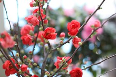 (bambooland) Tags: spring blooming blossoms flowers gardening garden mygarden mybalcony floweringquince