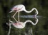 flamingo with its reflection (ibzsierra) Tags: ibiza eivissa baleares canon 7d 150600 g2 tamron2 tamron ave bird oiseau salinas parque natural reflejo reflection water flamingo