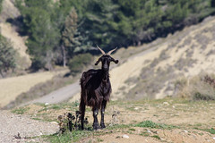 Incontro fortunato?? (Angelo Petrozza) Tags: capra black nera goat ovino sheep alone solitario angelopetrozza pentaxk70 55300f458 difesasanbiagio montescaglioso