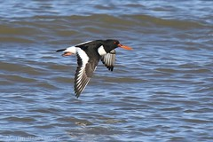 Oystercatcher in flight 97019 (wildlifetog) Tags: oystercatcher isleofwight inflight southeast seaview duver uk mbiow martin blackmore britishisles britain bird birds british wild wildlifeeurope wildlife wings water wader canon coast coastal england european eos7dmkii nature solent