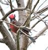 Brasita de Fuego (anitareal) Tags: ave selva rojo rama árbol copete yungas lamendieta jujuy argentina birdwatching cielo luz airelibre bird foto nikon