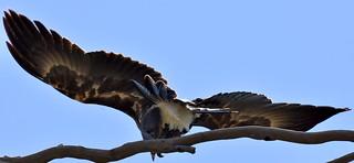 20180304 Wedgetail Eagle - Nile