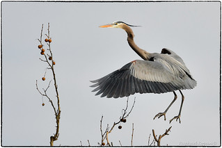 GBH rookery (Takeoff)