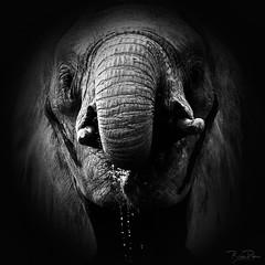 Quench! (brian.pipe) Tags: nikon d500 80 400 afs elephant wildlife nature black white monochrome dallas zoo dfw texas tx