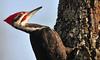 PortraitPileatedMale1 (Rich Mayer Photography) Tags: pileated woodpecker portrait bird birds avian fly flying flight animal wild life wildlife nature nikon