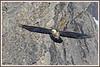 Gypaète rochers 180112-13-P (paul.vetter) Tags: oiseau ornithologie ornithology faune animal bird gypaètebarbu gypaetusbarbatus bartgeier quebrantahuesos beardedvulture vautour rapace