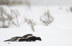 Skunk in the Snow - 4313b+ (teagden) Tags: skunk stripedskunk striped mephitidae skunkinsnow jenniferhall jenhall jenhallphotography jenhallwildlifephotography wildlifephotography wildlife nature naturephotography photography nikon wild wyoming wyomingwildlife winter winterphotography snow snowing