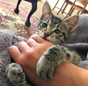 Foster baby Ollie - I miss him! (rjmiller1807) Tags: cat kitten kitty cute iphone iphongraphy adoptdontshop fosterkitten fostercat adoptarescue iphonese ollie 2017 november cutecat meow purr sweet paws bite