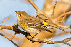 Yellow-rumped Warbler (tresed47) Tags: 2017 201711nov 20171129newjerseybirds birds canon7d content ebforsythenwr fall folder newjersey november peterscamera petersphotos places season takenby us warbler yellowrumpedwarbler ngc npc