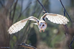 Barn Owl (Tyto alba) at Arizona-Sonora Desert Museum (Jim Frazee) Tags: barnowl tytoalba arizonasonoradesertmuseum