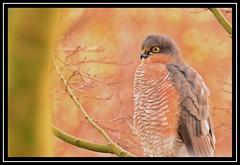 """Male Sparrowhawk"" (NikonShutterBug1) Tags: nikond7100 tamron70300mm birds ornithology wildlife nature spe smartphotoeditor bokeh sparrowhawk accipiter sundaylights"