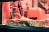 Smile (aqugacosmo) Tags: pentax da35mmf24 da35mm k5 k5ⅱs k5iis leopardgecko eublepharismacularius smile macksnow reptiles ペンタックス レオパードゲッコー レオパ ヒョウモントカゲモドキ マックスノー 自家繁殖
