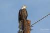 Handsome Bald Eagle along a county road (TonysTakes) Tags: eagle baldeagle raptor bird wildlife colorado coloradowildlife weldcounty