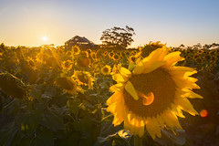 Sunflowers at Sunset (KimTalento) Tags: sunset summer sun sunflowers sunflower blossoms yellow flowers floral australia vicotria goldenhour landscape