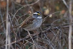 White-throated Sparrow (Zonotrichia albicollis), Maury County, Tennessee (kmalone98) Tags: wildlife buntingsandnewworldsparrows whitethroatedsparrow emberizidae zonotrichiaalbicollis aves