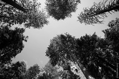 Looking Up On The Trees In Sequoia National Park, California (thedot_ru) Tags: sequoianationalpark sanfrancisco trees sequoia sky up vanishingpoint lookingup tops blackandwhite bw monochrome usa travel travelling adventure wanderlust canon5d 2014